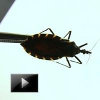 health, Experts, track, Kissing Bug, lethal parasite, Chagas disease, Latin America, news, videos, ibtl